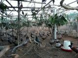 Nhiều mô hình nuôi chim trĩ đỏ thu lãi tiền tỷ mỗi năm