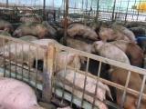 Kỷ luật hàng loạt cán bộ liên quan vụ lợn bị tiêm thuốc an thần