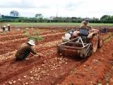 Xây dựng Đề án thí điểm nhận diện khoai tây Đà Lạt