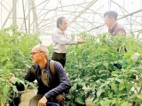Lâm Đồng: Virus lạ làm cà chua chết hàng loạt