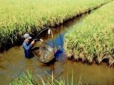 Lúa sạch Bến Tre đắt hàng, nông dân thu nhập khá