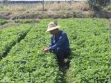 Thu gần trăm triệu đồng mỗi tháng nhờ trồng rau thơm