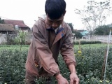 Nghệ An: Nông dân Nghĩa Đàn trồng hoa kiếm 100 triệu đồng/vụ Tết