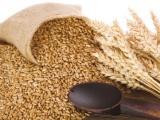 Tạm thời chưa buộc tái xuất lúa mì nhiễm cỏ kế đồng