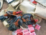 Triệt phá trường gà, thu giữ hơn nửa tỷ đồng tại Bến Tre