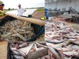 Sau mặt hàng lúa gạo, cá tra và tôm sẽ có thương hiệu quốc gia