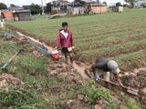 Hành tím chết sau bão, người trồng hành ở Sóc Trăng điêu đứng