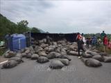 Xe tải lật ngang gây ách tắc cao tốc Nội Bài - Lào Cai