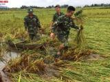 Hà Tĩnh: Cán bộ, chiến sỹ Đồn Biên phòng Cửa Sót giúp dân thu hoạch sau bão