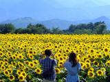 Cuối năm ghé Nghệ An check-in lễ hội hoa hướng dương 2019 rực rỡ