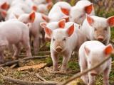 Tăng cường nhập khẩu lợn giống để phục vụ tái đàn