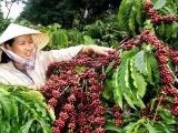 Giá cà phê đảo chiều giảm, giá tiêu ổn định trở lại
