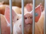 Trại chăn nuôi ồ ạt bán lợn nhỏ để 'chạy dịch'
