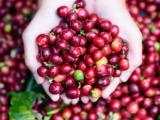 Giá tiêu đi ngang, cà phê trong nước được kỳ vọng tăng giá mạnh