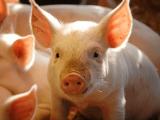 Nguồn cung ổn định, giá lợn hơi có xu hướng giảm