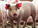 Giá lợn hơi hôm nay cao nhất ở mức 87.000 đồng/kg