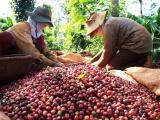 Tuần 17/8 - 23/8: Giá cà phê tăng 300 - 400 đồng/kg, giá tiêu cao nhất 50.000 đồng/kg