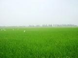 Hậu Giang tăng thêm hơn 3.000ha diện tích gieo sạ lúa Thu đông