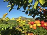 Lô cà phê đầu tiên sang EU hưởng thuế 0%