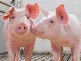Giá lợn hơi tăng 1.000 - 3.000 đồng/kg sau chuỗi ngày giảm