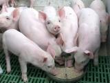 Giá lợn hơi tăng 1.000 - 2.000 đồng/kg trên cả 3 miền