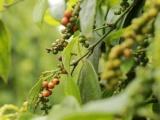 Giá tiêu và cà phê đồng loạt tăng tại các địa phương