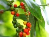 Giá tiêu hôm nay 28/10 biến động, giá cà phê tăng theo thế giới