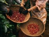 Giá cà phê hôm nay tiếp tục giảm, thị trường hồ tiêu biến động nhẹ