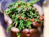 Giá hồ tiêu và cà phê tăng nhẹ tại một số địa phương
