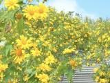 Kon Tum: Mê mẩn mùa hoa dã quỳ trên cột mốc 3 biên