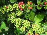 Giá cà phê và hồ tiêu hôm nay (13/11) đạt mức giá ấn tượng