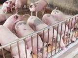 Giá lợn hơi hôm nay 8/1 chạm mốc 82.000 đồng/kg