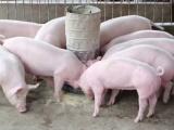 Giá lợn hơi ngày đầu tuần 11/1 đi ngang trên cả 3 miền