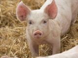 Giá lợn hơi hôm nay (12/1) cán mốc 84.000 đồng/kg