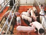 Giá lợn hơi hôm nay (13/1) tiếp tục tăng cao