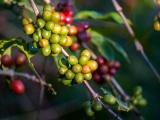 Thị trường cà phê và hồ tiêu ngày 13/1 ít biến động