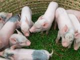 Giá lợn hơi hôm nay (14/1) tiếp tục tăng