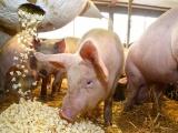 Giá lợn hơi ngày 15/1 tăng nhẹ tại một số địa phương
