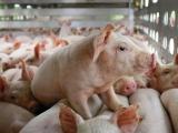 Giá lợn hơi hôm nay tiếp tục tăng 1.000 - 2.000 đồng/kg