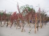 Nghiêm cấm chặt và kinh doanh đào, mai từ rừng tự nhiên