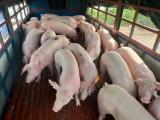 Giá lợn hơi hôm nay 26/1 duy trì mức cao nhất 87.000 đồng/kg