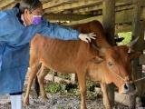 Hàng trăm con trâu, bò ở Hà Tĩnh bị nhiễm bệnh viêm da nổi cục