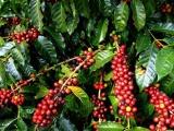 Xuất khẩu cà phê ước đạt 428.000 tấn trong quý I/2021