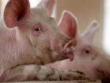 Giá lợn hơi hôm nay 9/4/2021 duy trì mức thấp nhất 73.000 đồng/kg