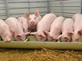 Giá lợn hơi hôm nay 10/4 tiếp tục giảm nhẹ trên cả 3 miền