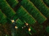 Kim Sơn - Ninh Bình: Gần hai trăm năm sắt son với nghề dệt cói