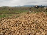 Xuất khẩu sắn và các sản phẩm từ sắn tăng mạnh