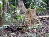Quảng Trị: Hàng loạt cây rừng tự nhiên bị đốn hạ, BQL rừng không biết?