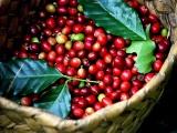 Giá cà phê và hồ tiêu hôm nay 3/5 cùng nhau đi ngang