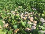 Phú Yên: Hàng trăm tấn bí đỏ không có đầu ra, người trồng lao đao